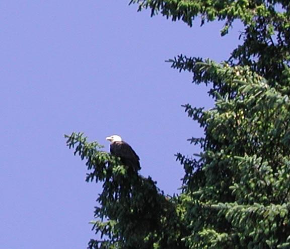 Bald Eagle along the Hiking along the Sand point trail