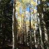 Aspen along the Bear Jaw trail