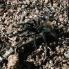 Tarantula on the trail to Granite Mountain