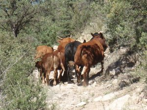 Scaring cattle on the Hyde mountain trail