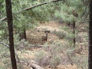Mule Deer on the Isabella trail