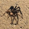 Tarantula on the Indian mesa trail